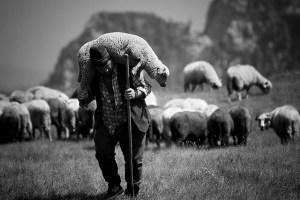 shepherdcarrysheep4
